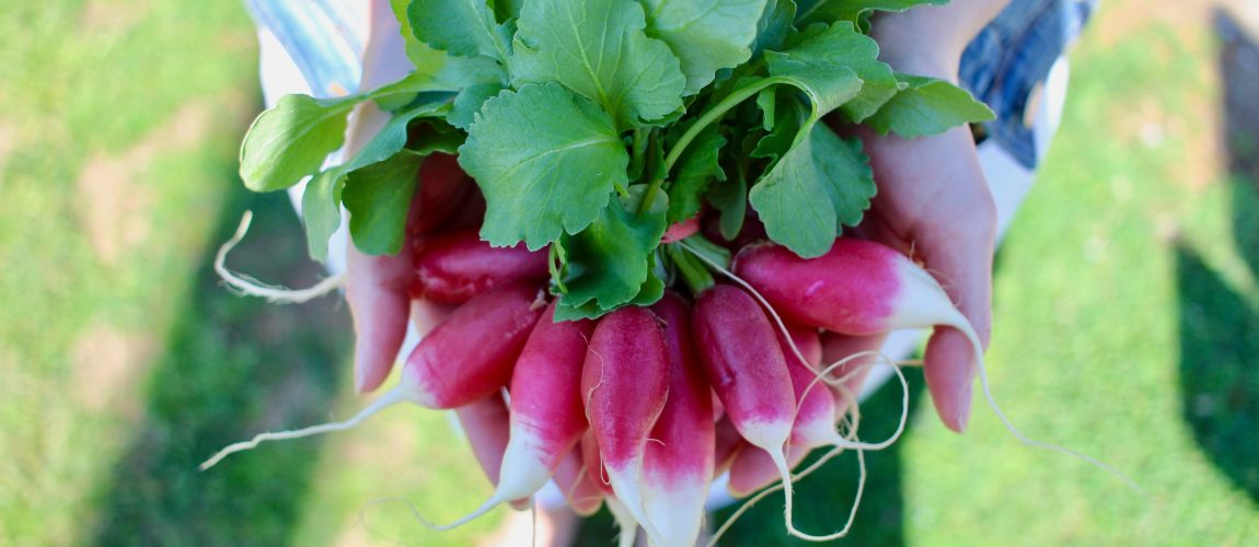 pink french breakfast radishes held in hands